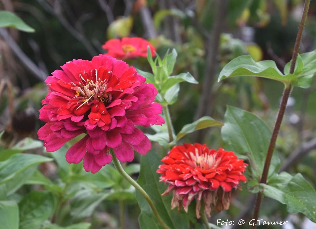The World S Best Photos Of Herbstblumen Flickr Hive Mind