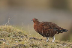 red grouse (simonrowlands) Tags: redgrouse lagopuslagopusscoticus moorland heather