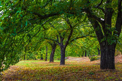 Chestnut land (Artur Tomaz Photography) Tags: chestnut green trees outside nature land leafs autumn