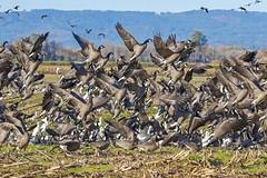 Flock Lift Off (Gary Grossman) Tags: geese flock explosion takeoff birds wildlife waterfowl autumn fall nature sauvieisland oregon garygrossman garygrossmanphotography wildlifephotography naturephotography pacificnorthwest