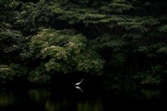 水鏡の上 #2ーOn a glassy surface of water #2 (kurumaebi) Tags: yamaguchi 秋穂 山口市 nikon d750 nature landscape birds 鳥 アオサギ サギ 反射 reflection
