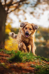 Picture of the Day (Keshet Kennels & Rescue) Tags: adoption dog dogs canine ottawa ontario canada keshet large breed animal animals kennel rescue pet pets field nature autumn fall photography hillside hill explore long fur hair meadow