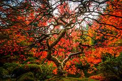 Japanese Maple (Selectivebits) Tags: portland japanese maple autumn fall foliage theperfectphotographer bestcapturesaoi soupx12 goodmorningx15 80