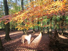 Autumn Sun Dog (andywalker1) Tags: andrewwalker karhu wolfhound irish autumn