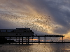 Aberystwyth Starlings (shawn~white) Tags: ©shawnwhite sea seaside pier fujifilmxt2 beauty enchanting harmonious nature aberystwyth ceredigion uk westwales greatbritain autumn fujinonxf35mmf2rwr bird starlings birds murmuration