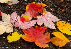 Touch Of Baby Color (rellet17) Tags: fallcolor fall fallfoliage rain ground trees ohio mapletrees