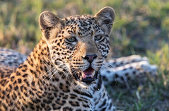 Portrait of  a cub (Thomas Retterath) Tags: mapula afrika africa botswana okavangodelta 2018 safari nopeople natur nature wildlife pantherapardus bigfive leopard felidae raubtiere predator carnivore säugetier mammals animals tiere cub sunrays5