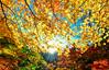 黃金楓鱗甲(DSC_6764) (nans0410(busy)) Tags: japan shizuokaprefecture autumn redleaves maple rays lighting sunlight fujihakoneizunationalpark scenery outdoors すまたきょう おおいがわ oiriver 川根本町 寸又峽 日本 靜岡縣 秋天 楓葉 紅葉 大井川 星芒 日芒