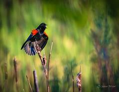 Red-winged Blackbird calling (John Prior 55) Tags: redwingedblackbird birds birdssinging nature bullrushes marshes parks burlington ontario spring
