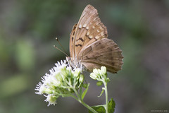 Butterfly 2019-168 (michaelramsdell1967) Tags: butterfly butterflies macro nature animal animals insect insects brown white green bokeh flowers beauty beautiful pretty lovely vivid vibrant detail delicate fragile bug bugs wings meadow garden closeup upclose zen
