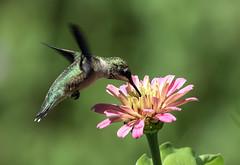 015A7977 Ruby-throated Hummingbird (suebmtl) Tags: bird hummingbird archilochuscolubris rubythroatedhummingbird quebec canada colibri