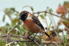 stonechat (DODO 1959) Tags: wildlife stonechat animal avian fauna birds nature outdoor canon 7dmk2 100400mmmk2 wales carmarthenshire britishsteelhide llanelli wwt