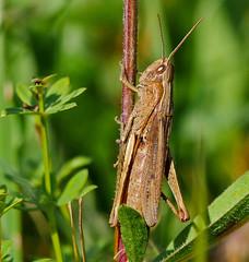 P1950413-brauner Grashüpfer (Bine&Minka2007) Tags: grashüpfer braunergrashüpfer insects insekten makro macro natur christal closeup