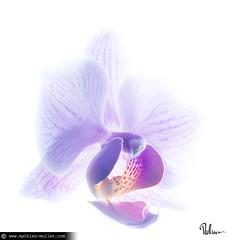 good feelin' (Mathieu Muller) Tags: fleur fleurs flower flowers orchidée orchid studio strob strobism strobist strobisme strobiste highkey contrejour backlight violet purple wwwmathieumullercom mathieumuller