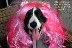 MY hair is to Die for (ashaconnie) Tags: funny dog bordercollie picture halloween caption costume pink wig pretty animal ashathestarofcountydown connie kells county down photography