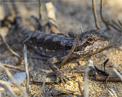 Bearded dragon (beninfreo) Tags: western beardeddragon pogonaminor westernaustralia