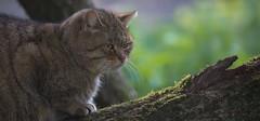 European wild cat (pe_ha45) Tags: wildcat wildkatze felissylvestris gatomontés gattosylvatico chatsauvage frankenhof