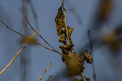 Barely Hanging On (davidseibold) Tags: america backyard bakersfield california jfflickr kerncounty leaf photosbydavid plant platoct postedonflickr riverbirch tree unitedstates usa