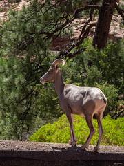 capricorn on the roadside (kleiner_eisbaer_75) Tags: capricon steinbock zion nationalpark utah usa natur nature tier animals wildlife
