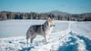 _1110635 (jeffreyshanor) Tags: mountains visitsheridan husky lulu pups puppies puppy dog doggo pet siberian huskies winter snow mountain sheridan wyoming outside national nature wolf pack hiking white
