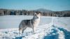 _1110632 (jeffreyshanor) Tags: mountains visitsheridan husky lulu pups puppies puppy dog doggo pet siberian huskies winter snow mountain sheridan wyoming outside national nature wolf pack hiking white