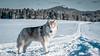 _1110629 (jeffreyshanor) Tags: mountains visitsheridan husky lulu pups puppies puppy dog doggo pet siberian huskies winter snow mountain sheridan wyoming outside national nature wolf pack hiking white