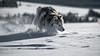 _1110597 (jeffreyshanor) Tags: mountains visitsheridan husky lulu pups puppies puppy dog doggo pet siberian huskies winter snow mountain sheridan wyoming outside national nature wolf pack hiking white