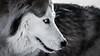 _1110573 (jeffreyshanor) Tags: mountains visitsheridan husky lulu pups puppies puppy dog doggo pet siberian huskies winter snow mountain sheridan wyoming outside national nature wolf pack hiking white