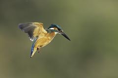Kingfisher (robin elliott photography) Tags: kingfisher kingfishers bird birds waterbird flight hover wild nature outdoors outside orange blue white green nikon nikond850