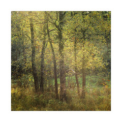 Birch Gold (gerainte1) Tags: birch yellow leaves trees woodland woods autumn colour film velvia50 hasselblad501