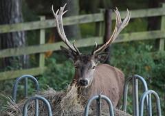 Dinner Time (jdathebowler Thanks for 4.5 Million + views.) Tags: reddeerstag cervuselaphus deer ruminant