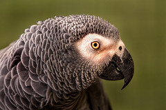 Profile African Grey Parrot 3-0 F LR 9-22-19 J018 (sunspotimages) Tags: animal animals bird birds nature wildlife parrot parrots greyparrot greyparrots africangreyparrot africangreyparrots zoo zoos marylandzoo baltimorezoo marylandzooinbaltimore