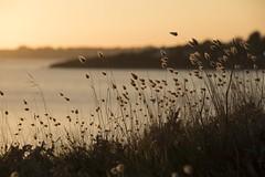 La douceur d'un soir *-*--+°----° (Titole) Tags: harestail queuedelièvre titole nicolefaton brittany seaside sunset shallowdof challengegamewinner friendlychallenges goldenhour storybookwinner 15challengeswinner