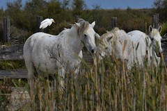 chevaux & héron garde-boeufs 19E_0345 (Bernard Fabbro) Tags: chaval héron gardeboeufs bubulcus ibis western cattle egret oiseau bird horse