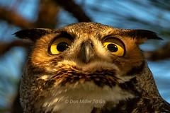 My, what big eyes you have (DonMiller_ToGo) Tags: greathornedowl nature birds birdsofprey d810 owls eyes