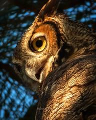 Great Horned Owl (DonMiller_ToGo) Tags: greathornedowl birdsofprey nature birds d810 rookery