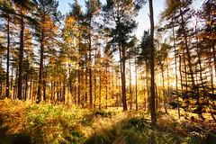 Photo of autumn late afternoon sunshine, golden light in the Wood of Dess. Kincardine O'Neil, Deeside, Aberdeenshire, Scotland.