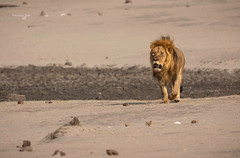 Netsai Beautiful Lion (Francesca Bullet) Tags: hwange zimbabwe africa safari lion lions nature wild wildlife wildanimal colors landscape mammal outdoor brown mane