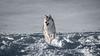 _1110658 (jeffreyshanor) Tags: mountains visitsheridan husky lulu pups puppies puppy dog doggo pet siberian huskies winter snow mountain sheridan wyoming outside national nature wolf pack hiking white