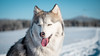 _1110650 (jeffreyshanor) Tags: mountains visitsheridan husky lulu pups puppies puppy dog doggo pet siberian huskies winter snow mountain sheridan wyoming outside national nature wolf pack hiking white