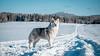 _1110631 (jeffreyshanor) Tags: mountains visitsheridan husky lulu pups puppies puppy dog doggo pet siberian huskies winter snow mountain sheridan wyoming outside national nature wolf pack hiking white
