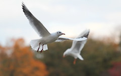 Effortless Flight 2 (jdathebowler Thanks for 4.5 Million + views.) Tags: blackheadedgulls seagull seabird chroicocephalusridibundus ngc