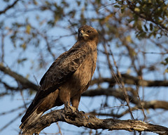 Yellow-billed Kite (J) (leendert3) Tags: leonmolenaar southafrica krugernationalpark wildlife wilderness wildanimal nature naturereserve naturalhabitat raptors yellowbilledkite ngc coth5 npc