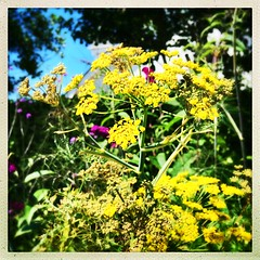 Fennel Flowers (Julie (thanks for 9 million views)) Tags: bokeh umbellifer fennel flowers yellow hbw huw garden squareformat hipstamaticapp iphonese 100xthe2019edition 100x2019 image92100 wexford ireland irish flora