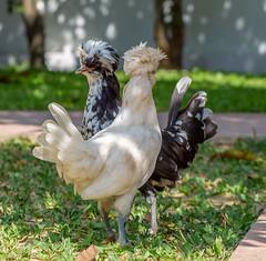 I Got You Babes!!! (hasneyhassan) Tags: canon canon1dmarkiv canon135mmf2l nature naturallight naturalbeauty chickens birds polishchickens saensaeb minburi bangkok thailand