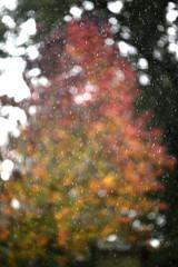 Liquidambar_20191030_013 (Bourgeois Jean) Tags: bretagne pluie eau arbre liquidambar couleur flou jeanbourgeois canon 5dmk2 135mm canon135mmf2