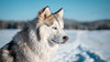 _1110646 (jeffreyshanor) Tags: mountains visitsheridan husky lulu pups puppies puppy dog doggo pet siberian huskies winter snow mountain sheridan wyoming outside national nature wolf pack hiking white