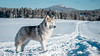 _1110634 (jeffreyshanor) Tags: mountains visitsheridan husky lulu pups puppies puppy dog doggo pet siberian huskies winter snow mountain sheridan wyoming outside national nature wolf pack hiking white