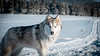 _1110629-2 (jeffreyshanor) Tags: mountains visitsheridan husky lulu pups puppies puppy dog doggo pet siberian huskies winter snow mountain sheridan wyoming outside national nature wolf pack hiking white