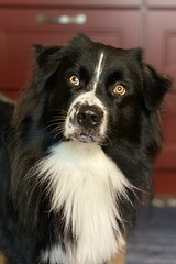 Rian 🐾 (unbunt.me) Tags: iphone aussie australianshepherd dog hund hoffnungs